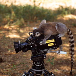 Ring-tailed Lemur (Lemur Catta) On Camera