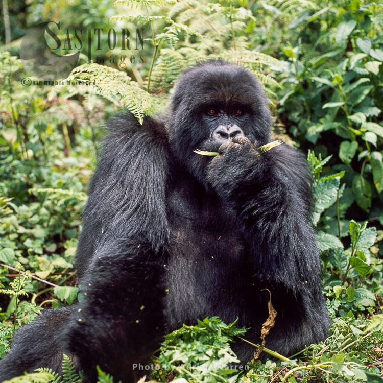 Mountain Gorilla (Gorilla G. Beringei) – Silverback Male, Virunga Volcanoes, Rwandaï