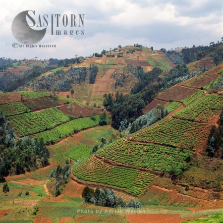 Intensive Hillside Agriculture On Virunga Foothills, Rwanda