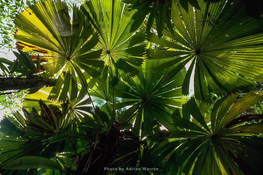 Round-leaved Fan PALM, Daintree, Queensland, Australia