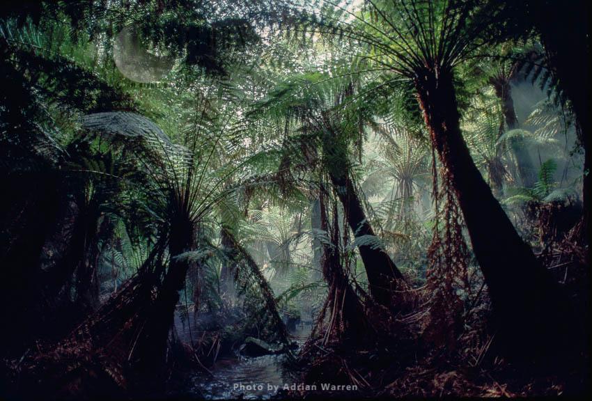 Australian Tree Fern (Dicksonia Antarctica), Victoria, Australia