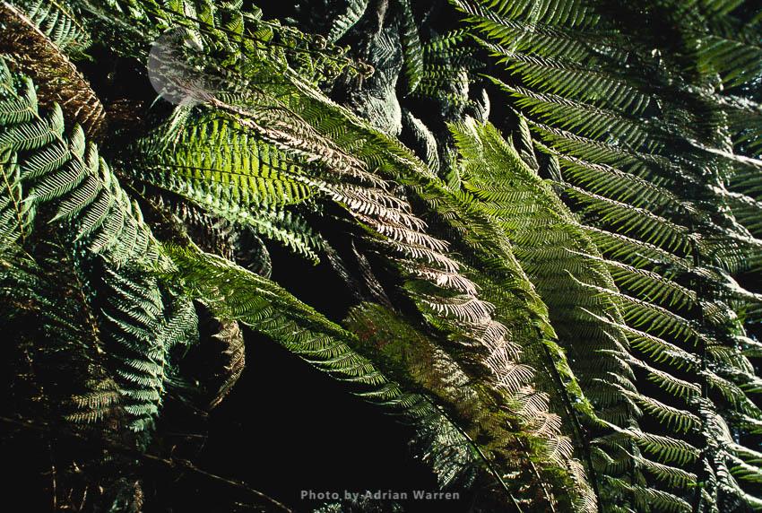 Fern, Rainforest, Queensland, Australia