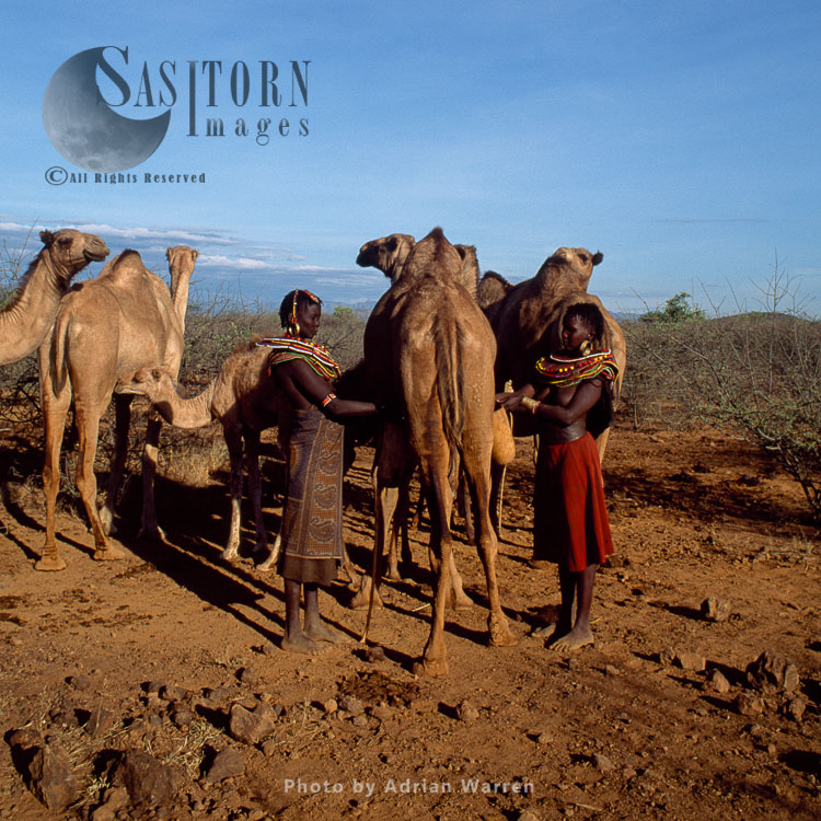 Pokot People (P_koot), Womans Milking Camel  Northern Kenya. 1990