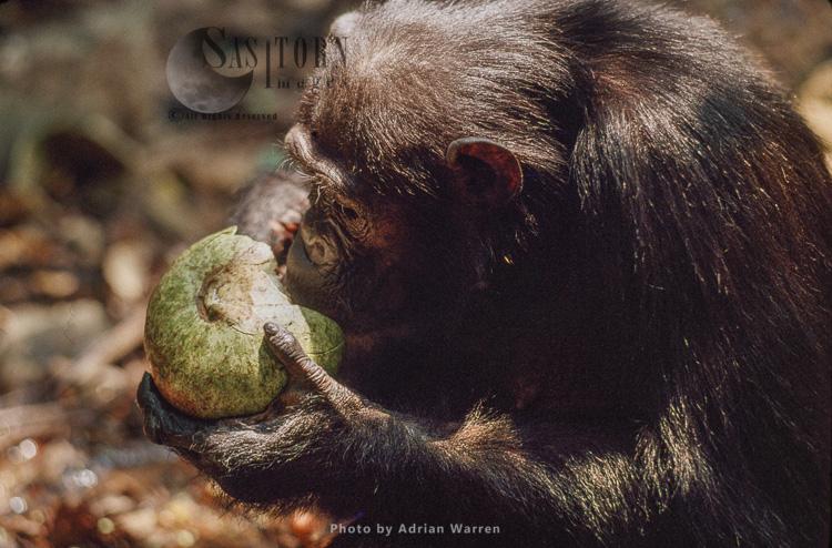 Chimpanzee (Pan Troglodytes), Feeding On Conopharyngia Fruit, Gombe Tanzania, 1993