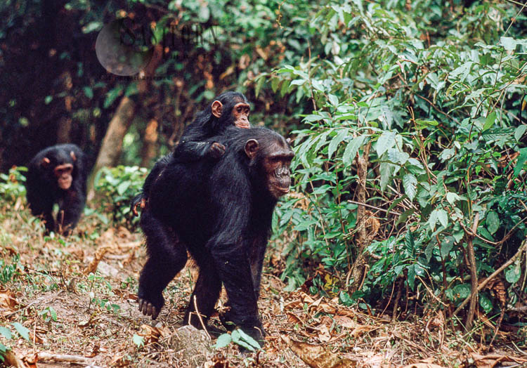 Chimpanzee (Pan Troglodytes), Baby Travel On Mum's Back, Gombe Tanzania