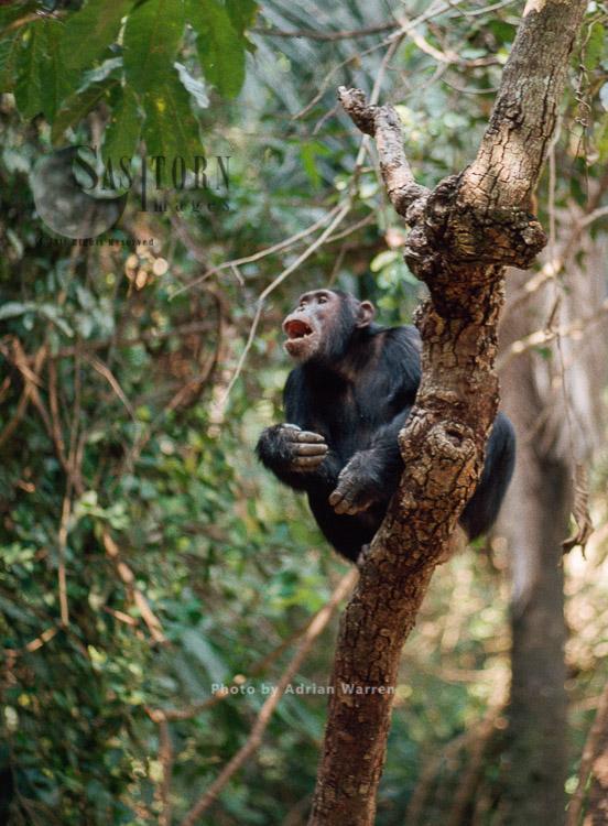 Chimpanzee (Pan Troglodytes), Calling, Pant-hooting, Gombe Tanzania