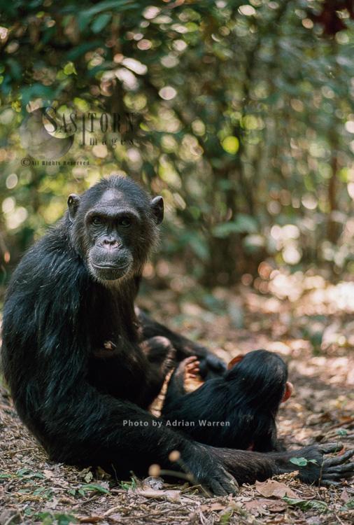 Chimpanzee (Pan Troglodytes), Fifi And 1 Year Old Ferdinand, Gombe Tanzania, 1993