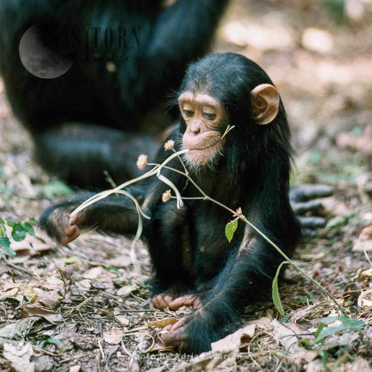 Chimpanzee (Pan Troglodytes), 1 Year Old Ferdinand Feeding, Gombe Tanzania, 1993
