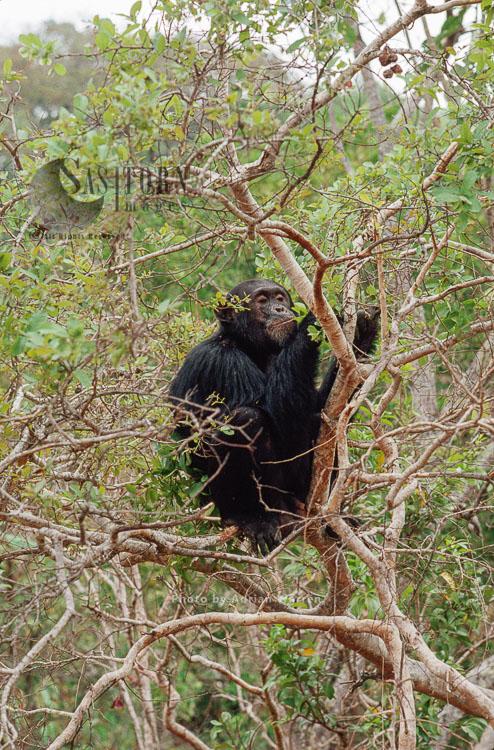 Chimpanzee (Pan Troglodytes), Freud Alpha Male 23 Yrs In Hymenocardia Tree, Gombe Tanzania, 1993