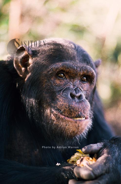 Chimpanzee (Pan Troglodytes), Feeding, Gombe, Tanzania