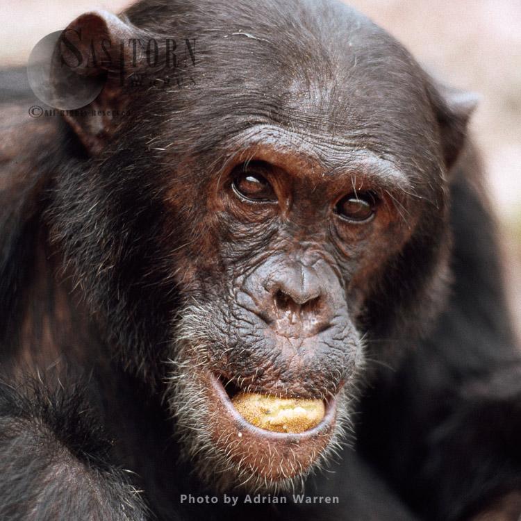 Chimpanzee (Pan Troglodytes), Freud- Alpha Male 23 Yrs, Eating Parinari Curatellifolia, Gombe Tanzania, 1993