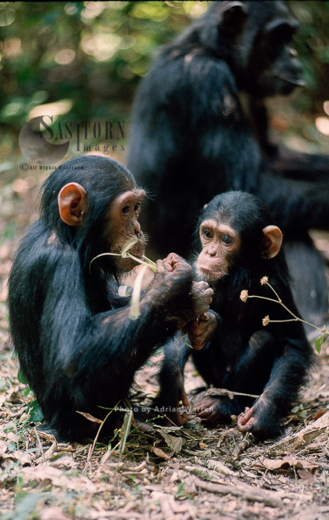 Chimpanzee (Pan Troglodytes), Faustino And Ferdinand-, Gombe, Tanzania