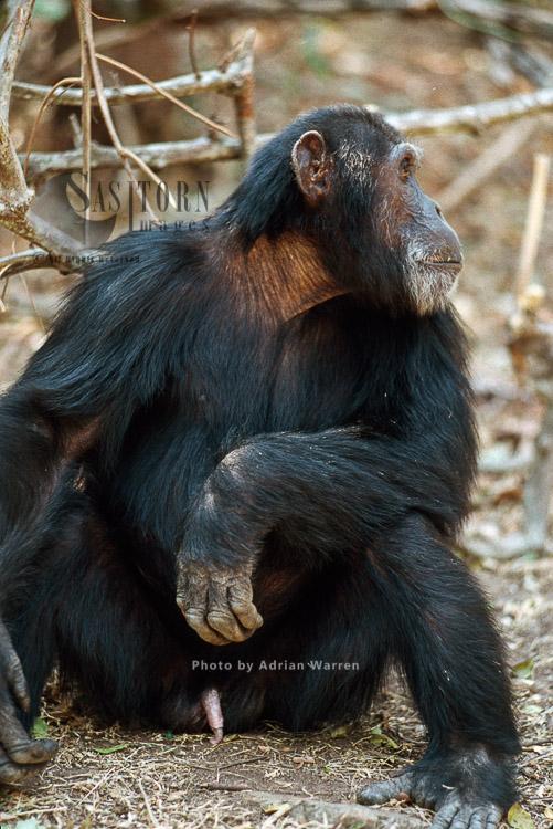 Chimpanzee (Pan Troglodytes), Goblin- Ex-alpha Male, 29 Yrs, Gombe Tanzania, 1993