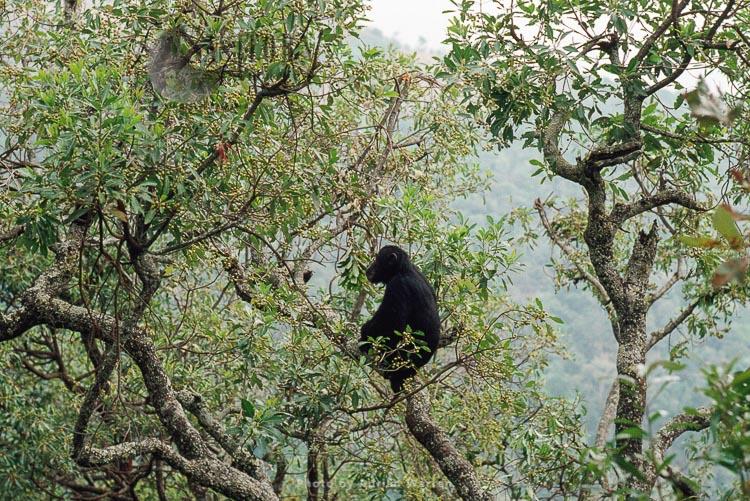 Chimpanzee (Pan Troglodytes),  Globin In Pseudospondias Tree, Gombe Tanzania, 1993