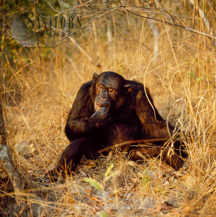 Chimpanzee (Pan Troglodytes), Freud- Alpha Male 23 Yrs, Eating Harungana Madagascariensis, Gombe Tanzania, 1993