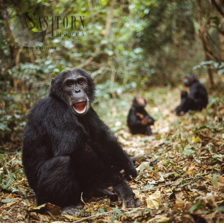 Chimpanzee (Pan Troglodytes), Fifi- Female 36 Yrs, Gombe Tanzania, 1993