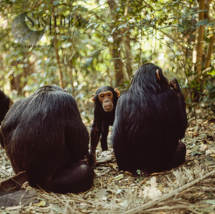 Chimpanzee (Pan Troglodytes), Faustino- Male 4 Yrs , Gombe Tanzania, 1993