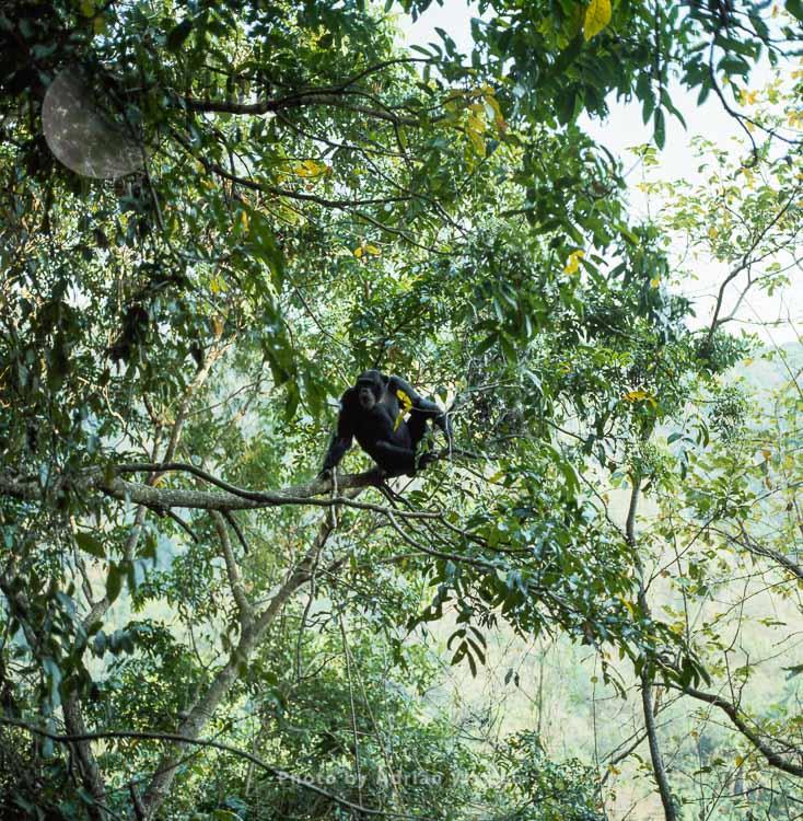 Chimpanzee (Pan Troglodytes),  Globin In Pseudospondias Tree, Gombe Tanzania