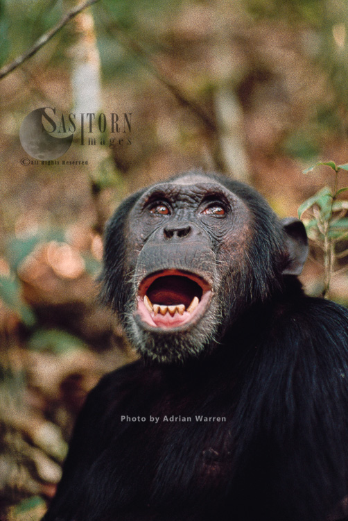 Chimpanzee (Pan Troglodytes), Prof Calling, Gombe, Tanzania