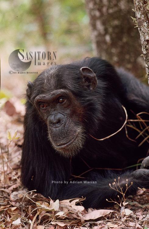 Chimpanzee (Pan Troglodytes), Gigi Female 39 Yrs, Gombe Tanzania