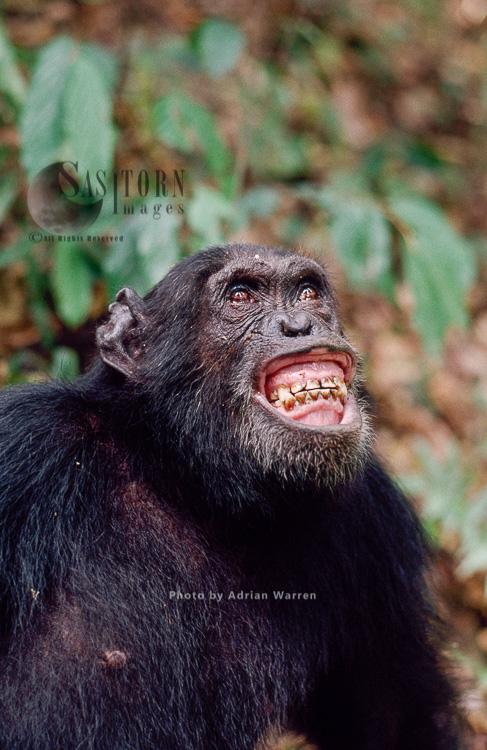Chimpanzee (Pan Troglodytes), Gigi Excite With Colobus Hunt, Gombe, Tanzania