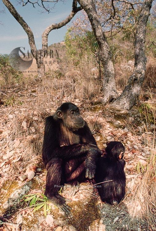 Chimpanzee (Pan Troglodytes), Fifi With Faustino, Gombe Tanzania, 1993