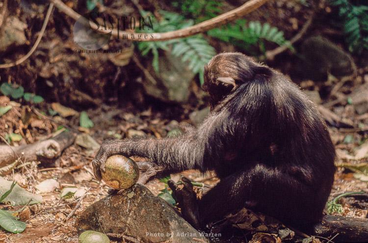 Chimpanzee: Prof Smashing Conopharyngia Fruit On Rock To Feed, Gombe Tanzania