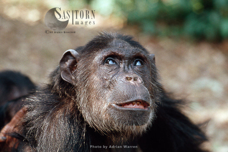 Chimpanzee (Pan Troglodytes), Fifi- Female 36 Yrs Gombe, Tanzania