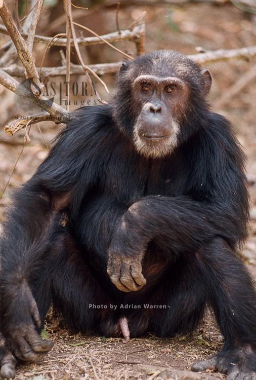 Chimpanzee (Pan Troglodytes), Goblin Ex-alpha Male, 29 Yrs, Gombe Tanzania, 1993