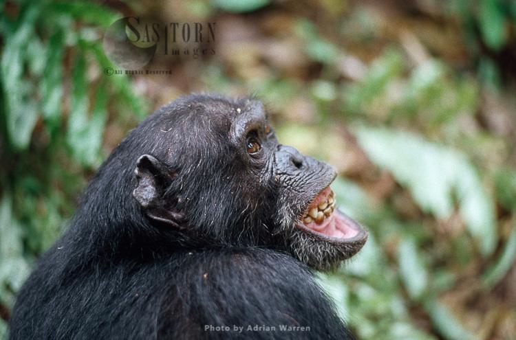 Chimpanzee (Pan Troglodytes), Gigi Excite With Colobus Hunt, Gombe, Tanzania,