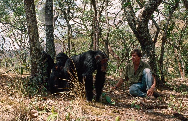 Chimpanzee (Pan Troglodytes), Fifi And Adrian Warren, Gombe Tanzania, 1993