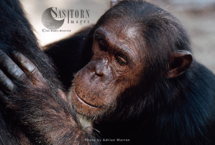 Chimpanzee (Pan Troglodytes), Gimble-male 16 Yrs, Grooming, Gombe, Tanzania