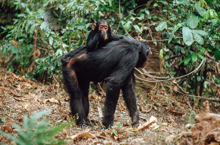 Chimpanzee (Pan Troglodytes), Baby Travel On Mum's Back, Gombe Tanzania, 1993