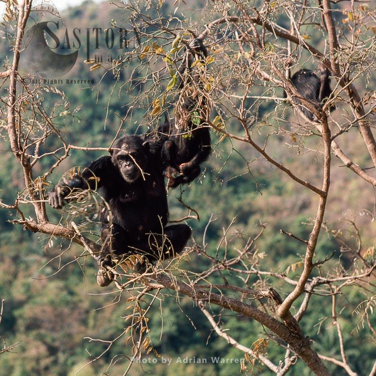 Chimpanzee (Pan Troglodytes), Fifi In Pterocarpus Tree, Gombe Tanzania, 1993a