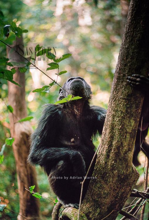 Chimpanzee (Pan Troglodytes), On Tree Calling Pant-hooting, Gombe, Tanzania