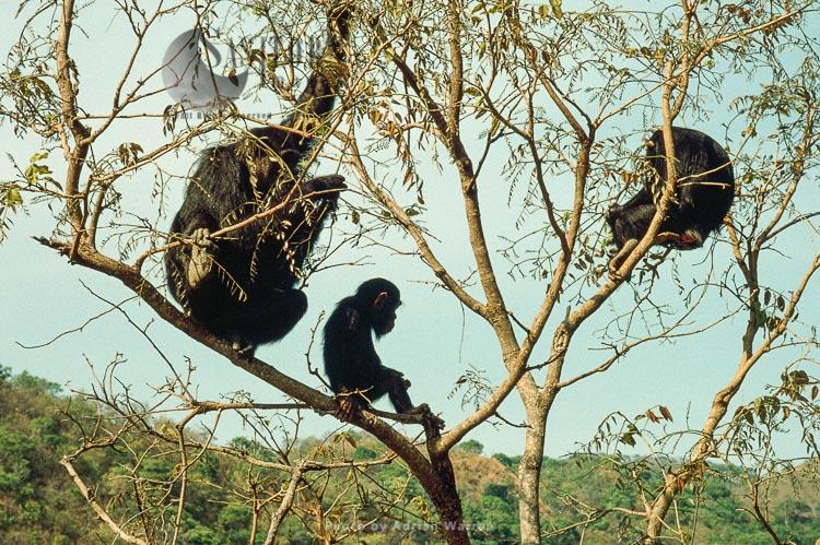 Chimpanzee (Pan Troglodytes), Fifi And Faustino On Tree, Gombe, Tanzania