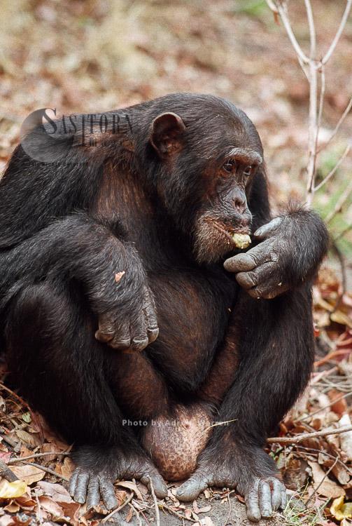 Chimpanzee (Pan Troglodytes), Freud- Alpha Male 23 Yrs, Eating Parinari Fruit, Gombe, Tanzania