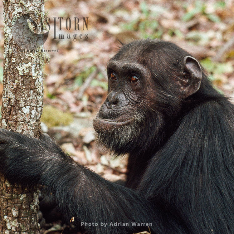 Chimpanzee (Pan Troglodytes), Gigi- Female 39 Yrs, Gombe, Tanzania