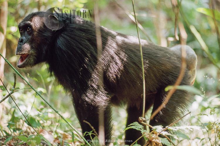 Chimpanzee (Pan Troglodytes), Female, Gombe, Tanzania