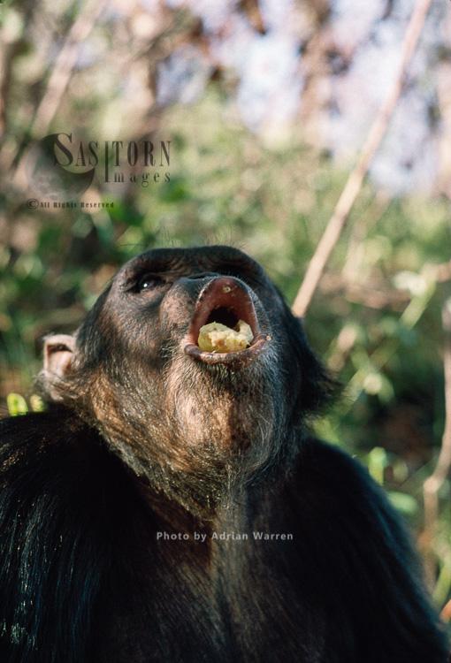 Chimpanzee (Pan Troglodytes), Tubi, Male-16 Years, Pant-hoot, Gombe, Tanzania