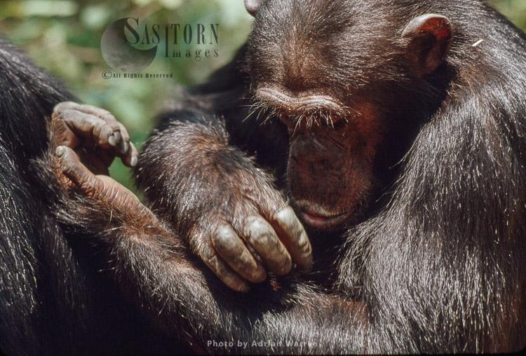 Chimpanzee (Pan Troglodytes), Gimble, Male 16 Yrs, Self-grooming, Gombe, Tanzania