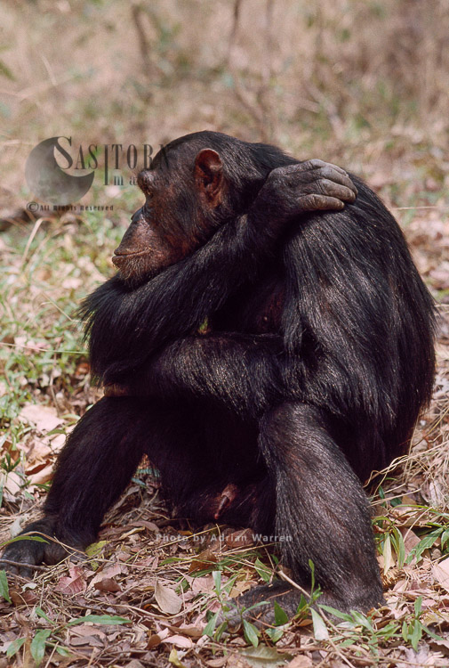 Chimpanzee (Pan Troglodytes), Gimble-male 16 Yrs., Gombe, Tanzania