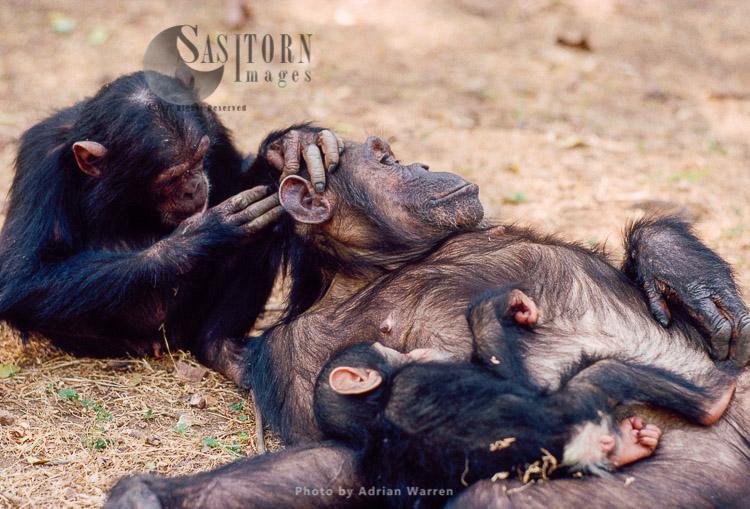 Chimpanzee (Pan Troglodytes), Galahad Grooming Gremlin, With Baby Gaia Suckling, Gombe, Tanzania