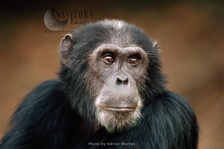 Chimpanzee (Pan Troglodytes), Goblin- Ex-alpha Male, 29 Yrs, Gombe, Tanzania