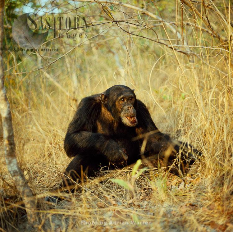 Chimpanzee (Pan Troglodytes), Freud- Alpha Male 23 Yrs, Eating Harungana Fruit, Gombe, Tanzania