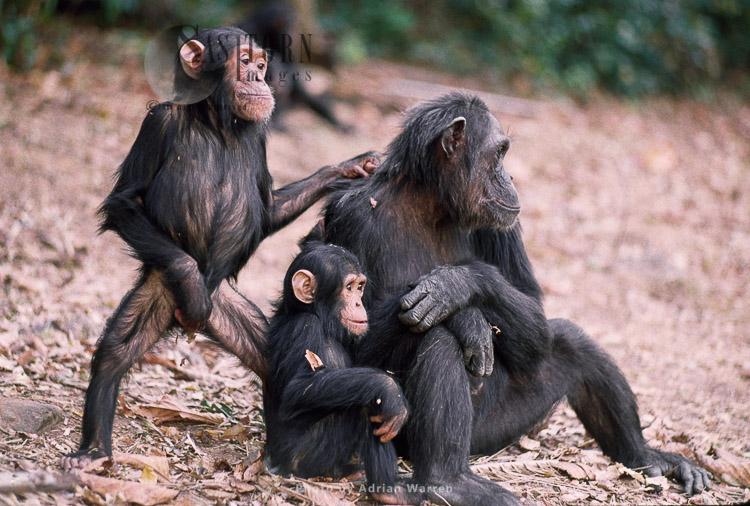 Chimpanzee Family (Pan Troglodytes), Fifi, Faustino And Ferdinand, Gombe, Tanzania