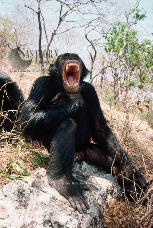 Chimpanzee (Pan Troglodytes), Gimble-male 16 Yrs, Yawning, Gombe, Tanzania