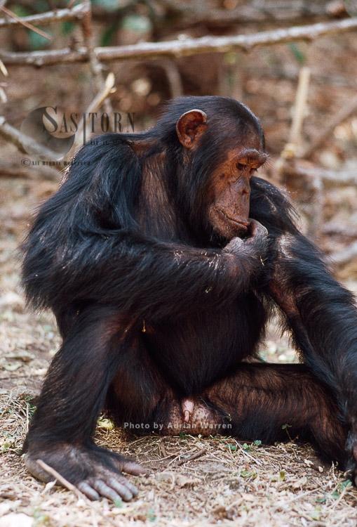 Chimpanzee (Pan Troglodytes), Gimble-male 16 Yrs, Self-grooming, Gombe, Tanzania
