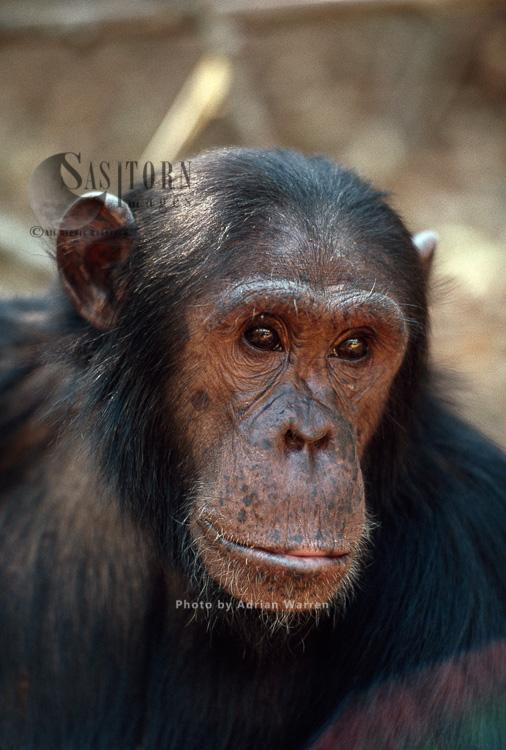 Chimpanzee (Pan Troglodytes), Gimble-male 16 Yrs, Gombe, Tanzania