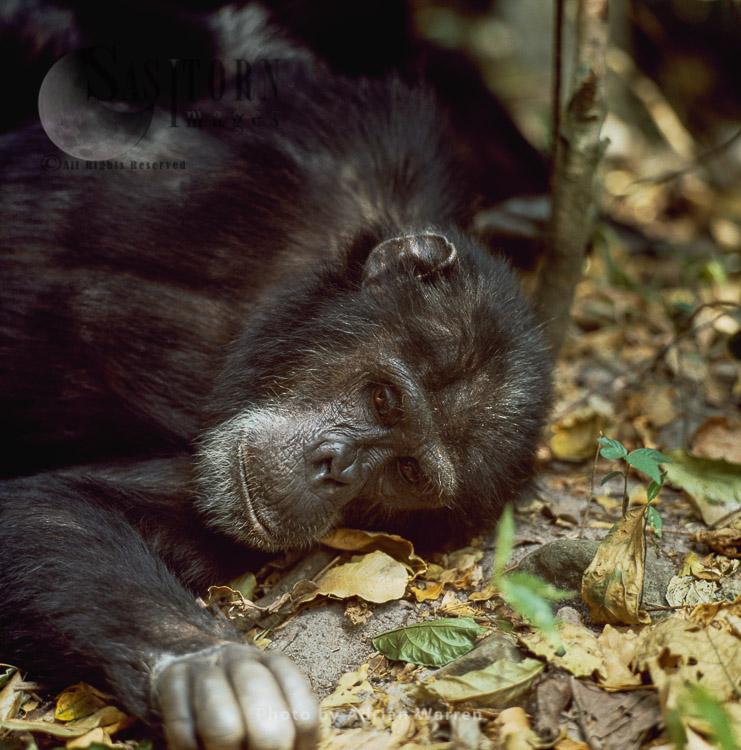 Chimpanzee (Pan Troglodytes), Goblin- Ex-alpha Male 29 Yrs, Resting, Gombe, Tanzania